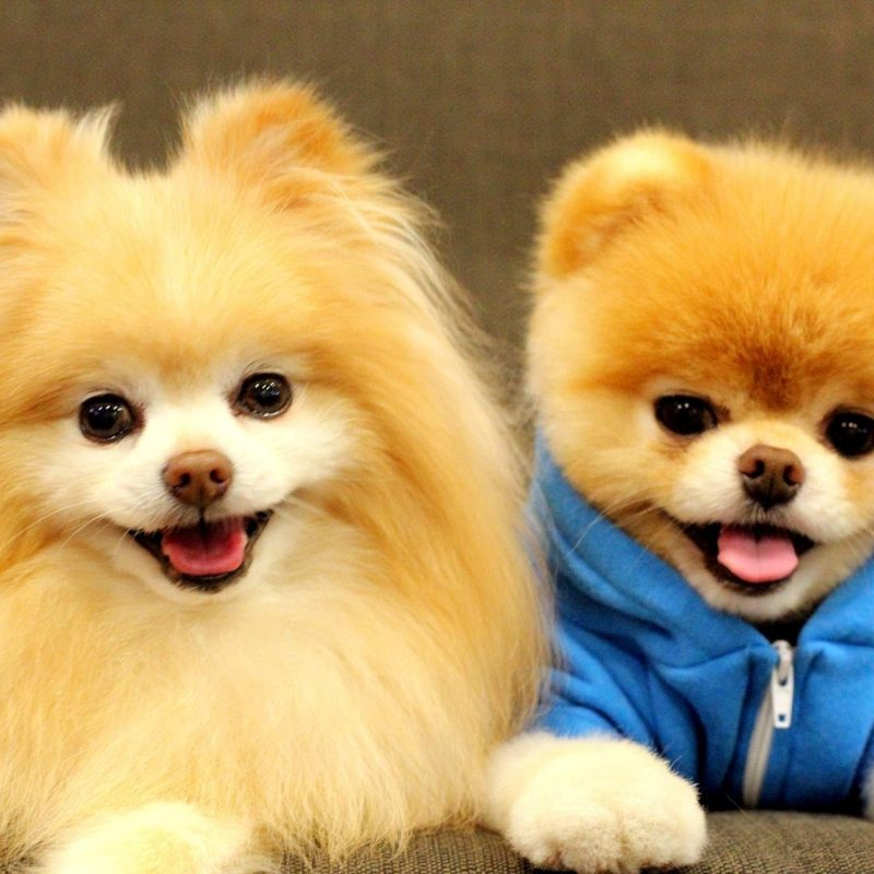 10 Most Popular Images Of Baby Dogs FULL HD 1080p For PC Background 2018 free download boo cute baby dog hd 2015 15 minutes of boo youtube 800x800