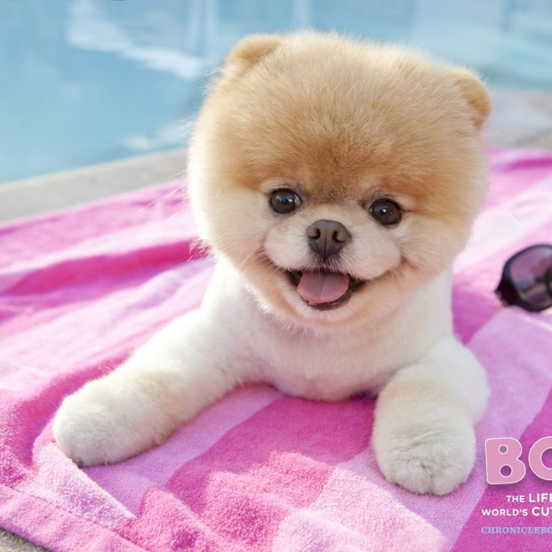 10 Best Boo The Dog Wallpaper FULL HD 1080p For PC Background 2020 free download boo the dog http wallpapers tabissh club 2016 01 03 animals cutest 800x800