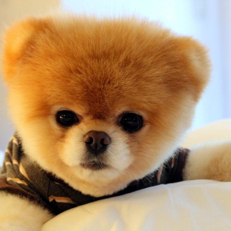 10 Best Boo The Dog Wallpaper FULL HD 1080p For PC Background 2020 free download boo the dog wallpaper 48 images 800x800