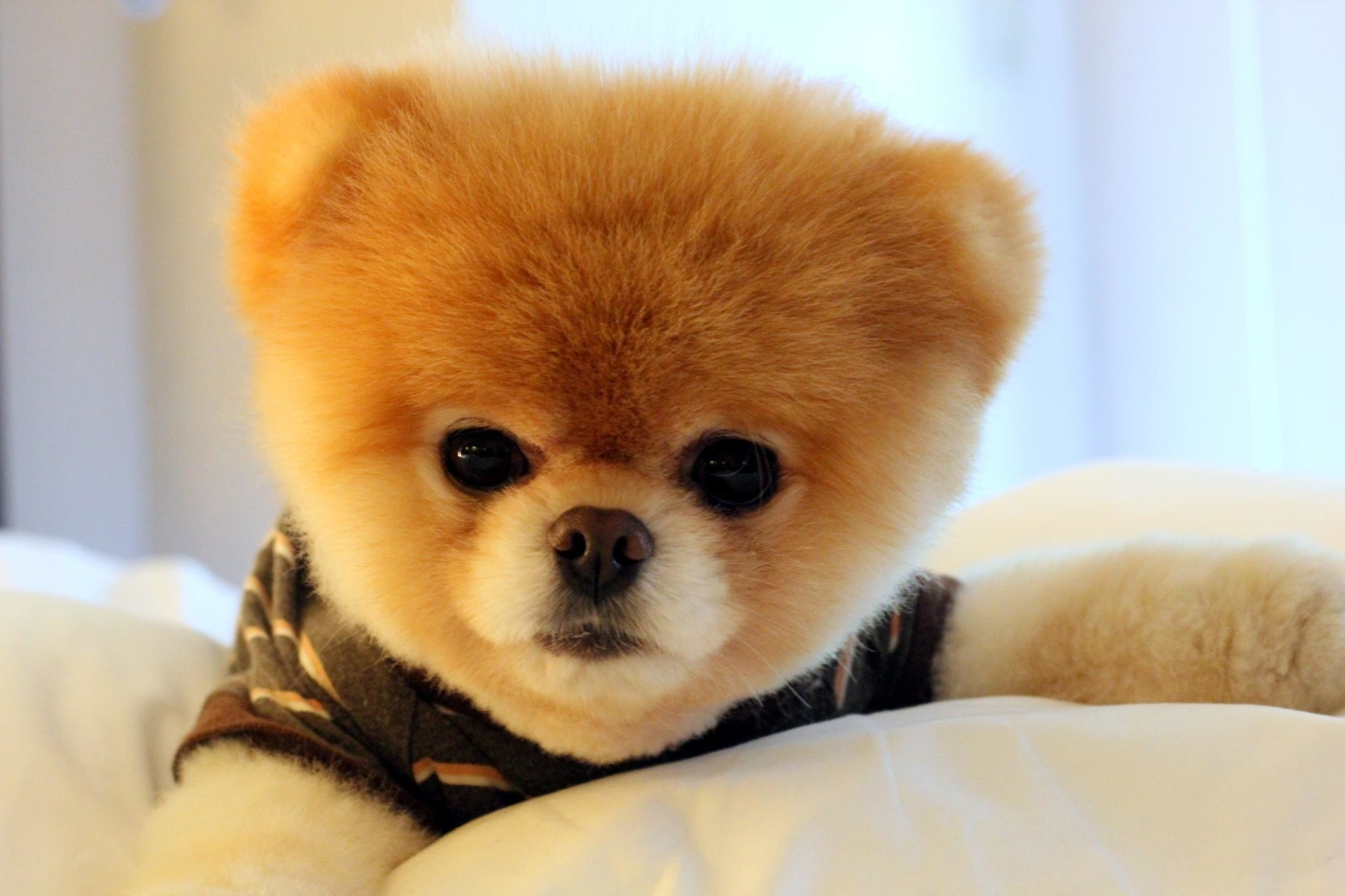 10 Best Boo The Dog Wallpaper FULL HD 1080p For PC Background
