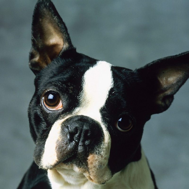 10 Best Boston Terrier Desktop Wallpaper FULL HD 1920×1080 For PC Background 2018 free download boston terrier desktop background wallpaper wiki 800x800
