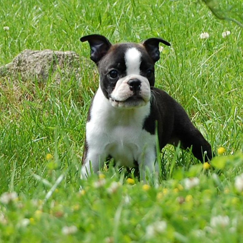 10 Best Boston Terrier Desktop Wallpaper FULL HD 1920×1080 For PC Background 2018 free download boston terrier on the meadow photo and wallpaper beautiful boston 800x800