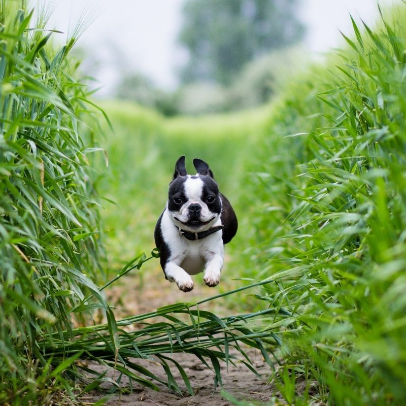 10 Best Boston Terrier Desktop Wallpaper FULL HD 1920×1080 For PC Background 2018 free download boston terrier puppies wallpapers 800x800