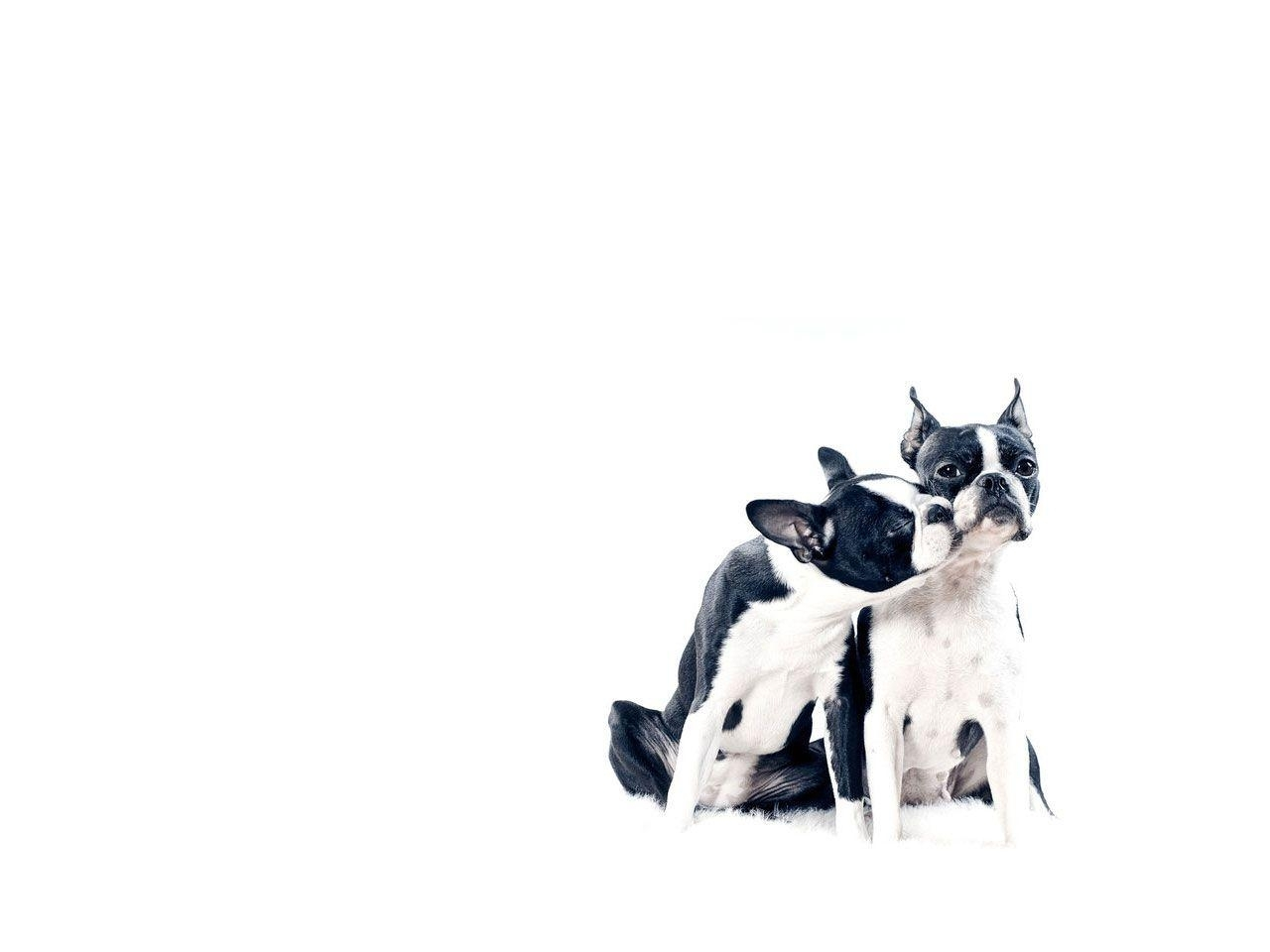 boston terrier wallpapers - wallpaper cave