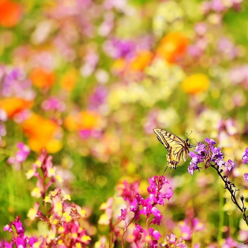 10 Top Butterfly With Flowers Wallpapers FULL HD 1920×1080 For PC Desktop 2018 free download butterflies and flowers butterfly flowers wallpapers pictures 800x800
