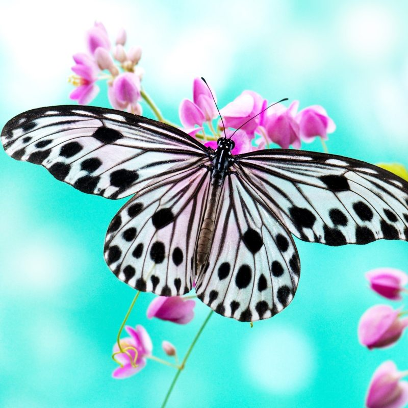 10 Best Wallpaper Butterfly Free Download FULL HD 1920×1080 For PC Desktop 2018 free download butterfly backgrounds free download pixelstalk 800x800