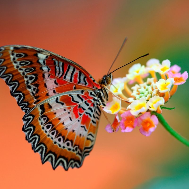 10 Latest Flowers With Butterfly Wallpaper Hd FULL HD 1080p For PC Desktop 2018 free download butterfly on flower wallpapers hd wallpapers id 11608 800x800