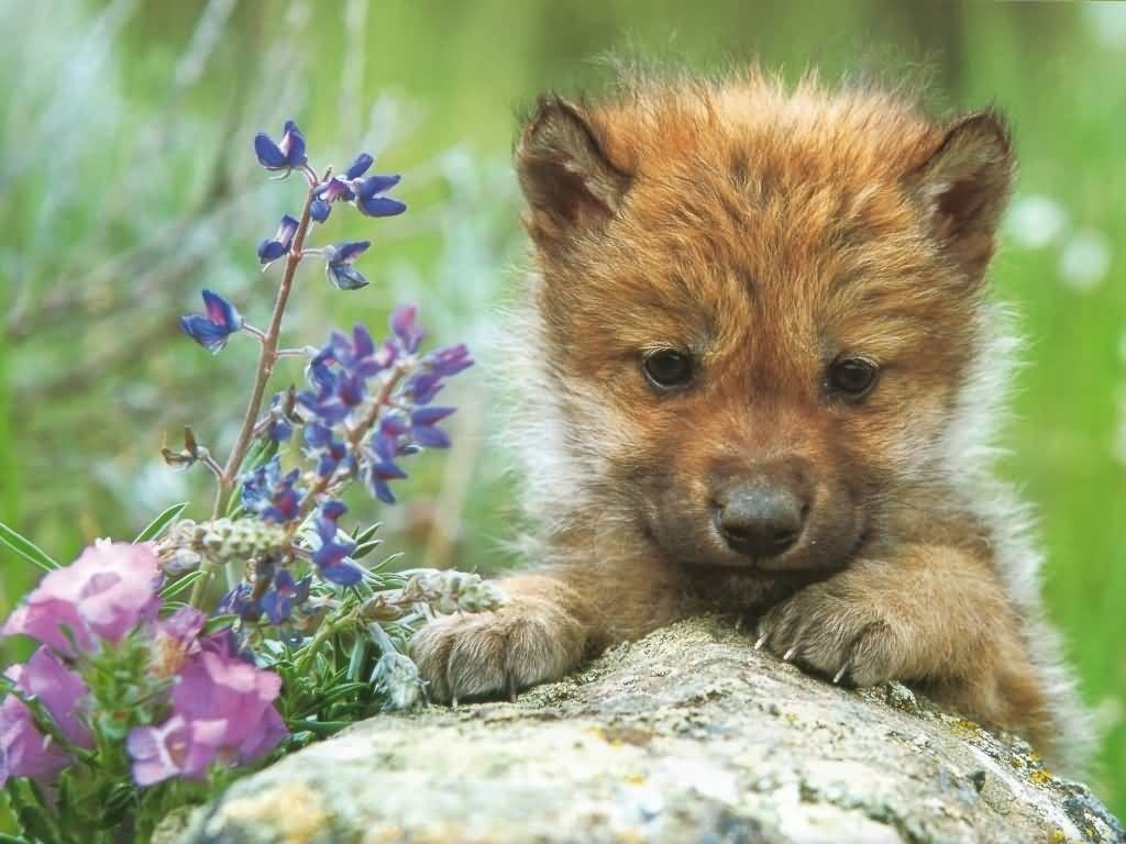 10 Most Popular Images Of Baby Wolves FULL HD 1920×1080 For PC Background 2018 free download caitbob wilkinson baby wolves 12 weeks and toot 1024x768