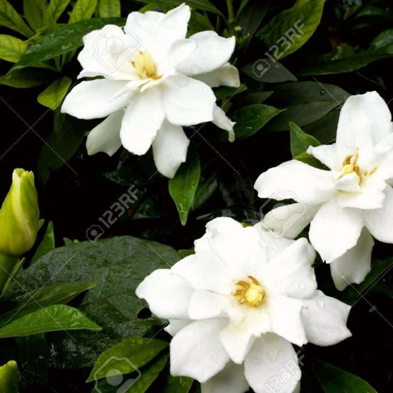 10 Top Picture Of Jasmine Flower FULL HD 1080p For PC Desktop 2018 free download cape jasmine flower stock photo picture and royalty free image 800x800