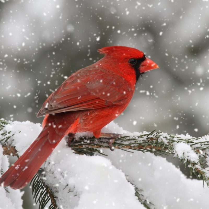 10 Best Cardinal Bird In Snow FULL HD 1080p For PC Background 2018 free download cardinal birds 800x800