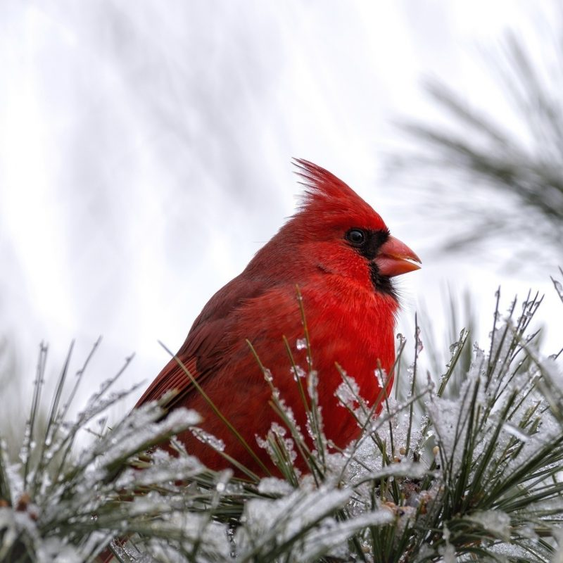 10 Best Cardinal Bird In Snow FULL HD 1080p For PC Background 2018 free download cardinal birds in snow wallpaper 47 images 1 800x800