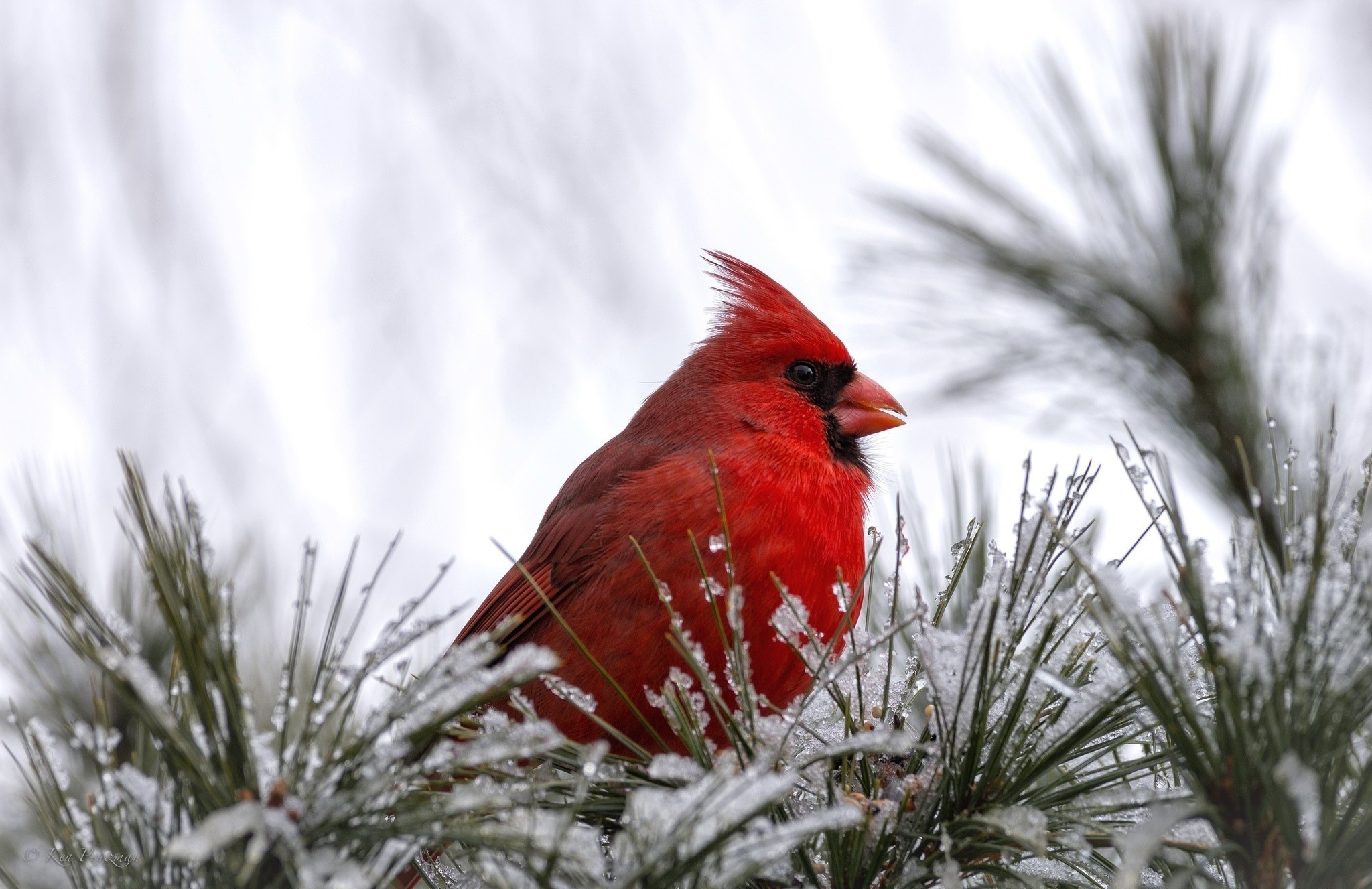 cardinal birds in snow wallpaper (47+ images)
