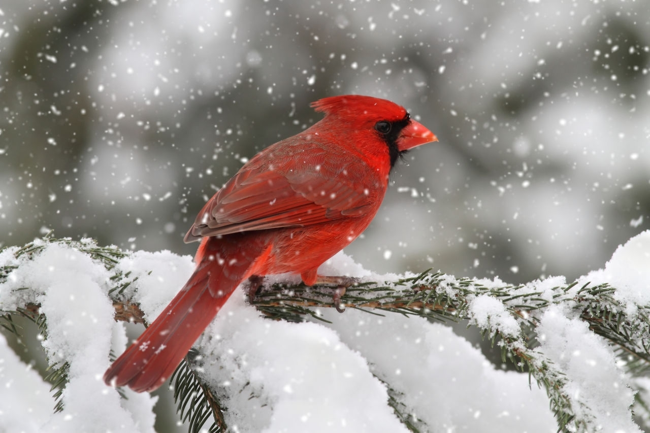 10 Best Cardinal Bird In Snow FULL HD 1080p For PC Background