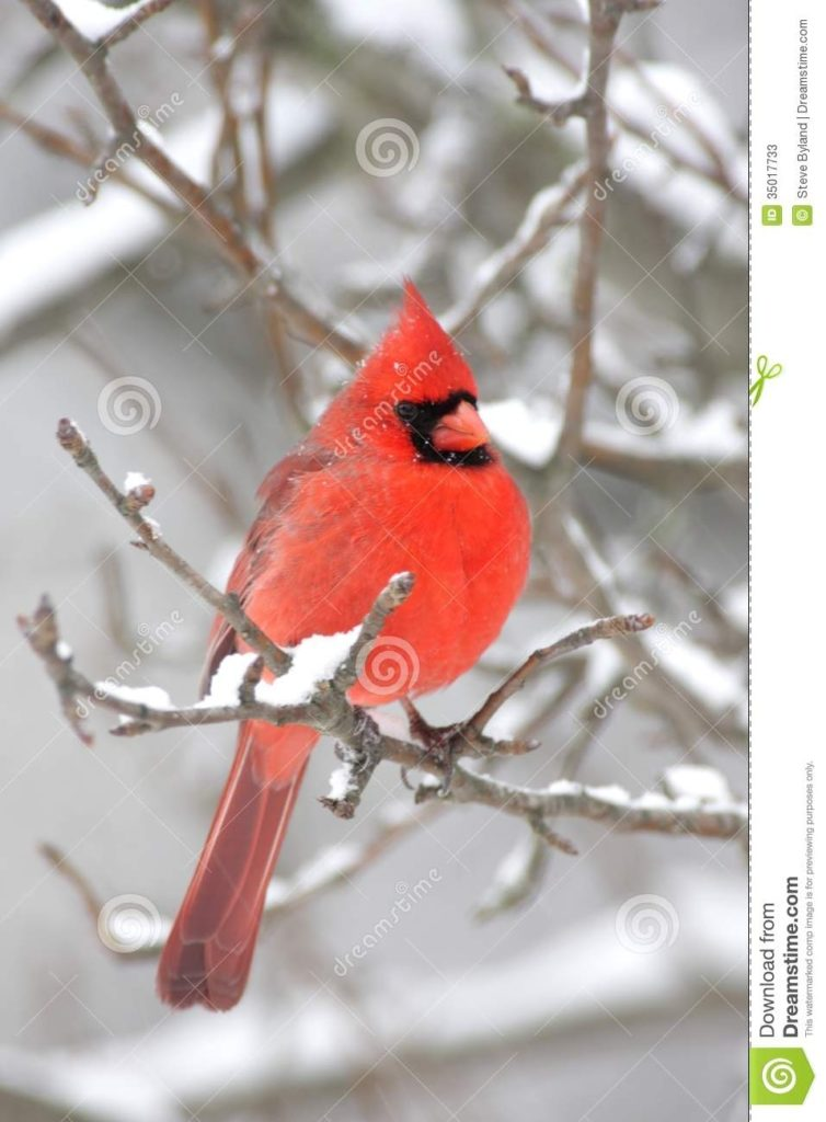 10 Most Popular Cardinal In Snow Pictures FULL HD 1920×1080 For PC Background 2018 free download cardinal in snow stock image image of northern branch 35017733 754x1024