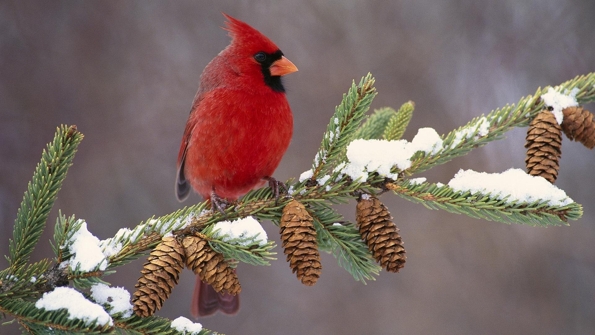 cardinal in snow - wallpaper. | fly flutter hop swim | pinterest