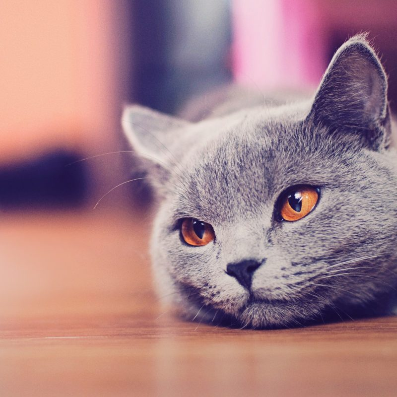 10 New Cat Backgrounds For Computer FULL HD 1080p For PC Desktop 2018 free download cat cool backgrounds wallpapers 6930 amazing wallpaperz 800x800