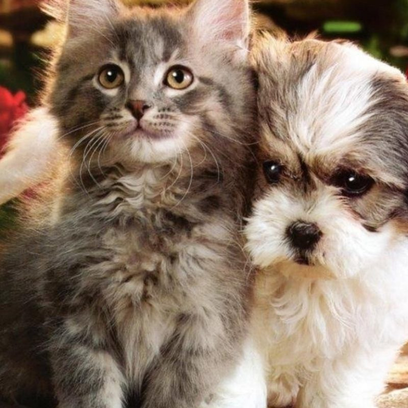 10 Best Dog And Cat Wallpapers FULL HD 1920×1080 For PC Background 2020 free download cats and dogs wallpapers group 82 800x800