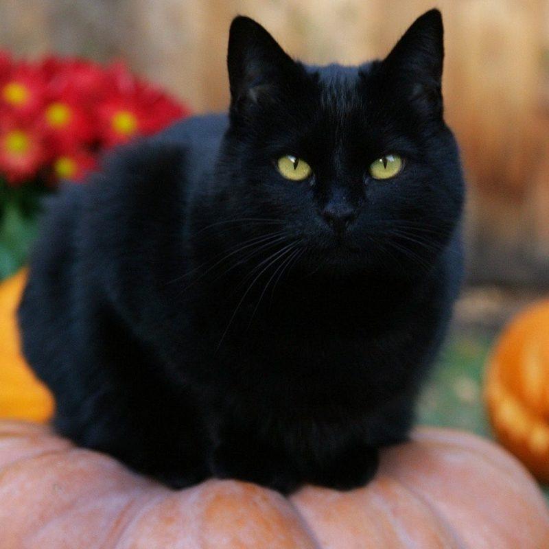 10 New Halloween Black Cats Wallpaper FULL HD 1920×1080 For PC Desktop 2020 free download cats jack pumpkins cat halloween lanterns black wallpaper images of 800x800