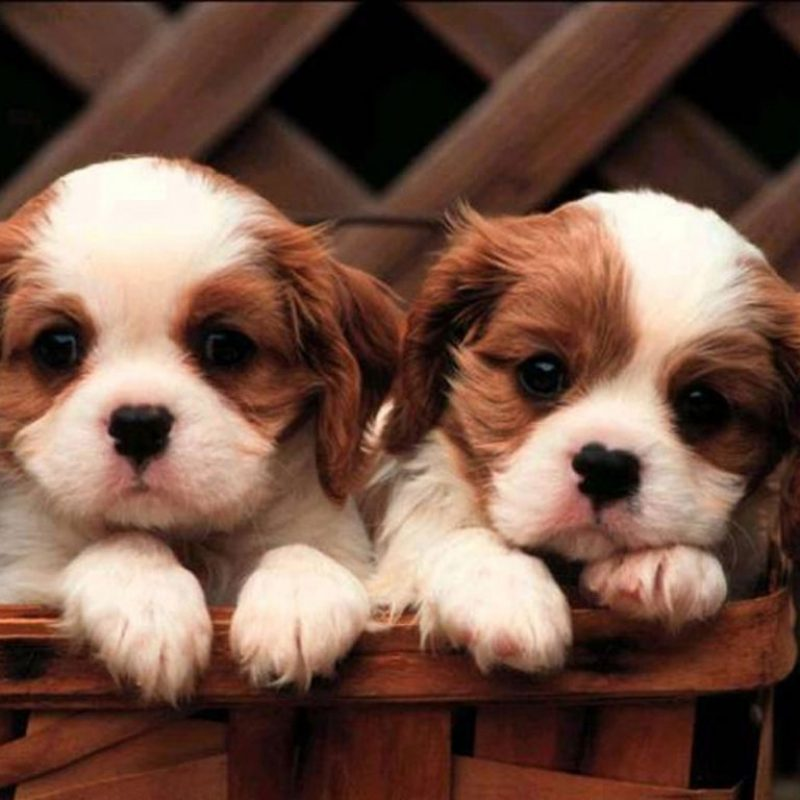 10 Most Popular Cute Puppies Wallpapers For Computer FULL HD 1920×1080 For PC Background 2018 free download cavalier king charles spaniel cute puppies wallpaper for your 800x800