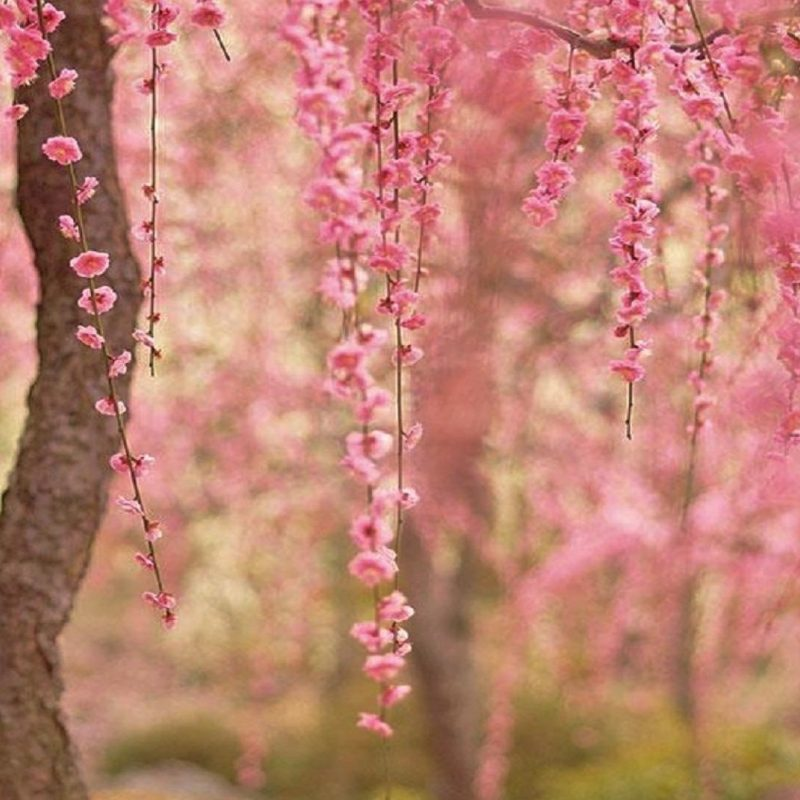 10 Best Cherry Blossom Wallpaper Desktop FULL HD 1920×1080 For PC Desktop 2018 free download cherry blossom computer wallpapers group 80 800x800