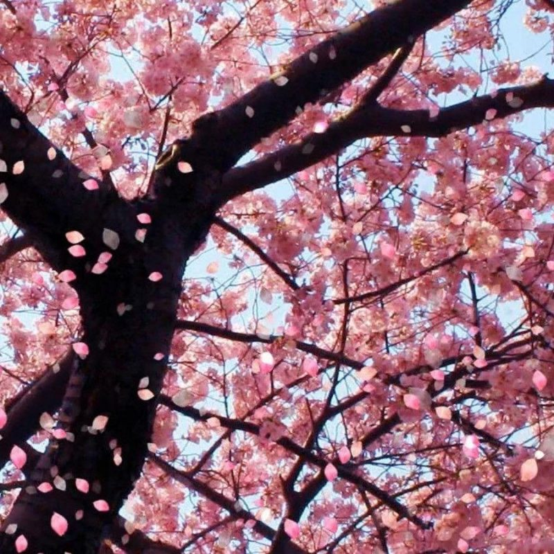10 Best Cherry Blossom Desktop Backgrounds FULL HD 1920×1080 For PC Desktop 2018 free download cherry blossom desktop backgrounds wallpaper cave 6 800x800