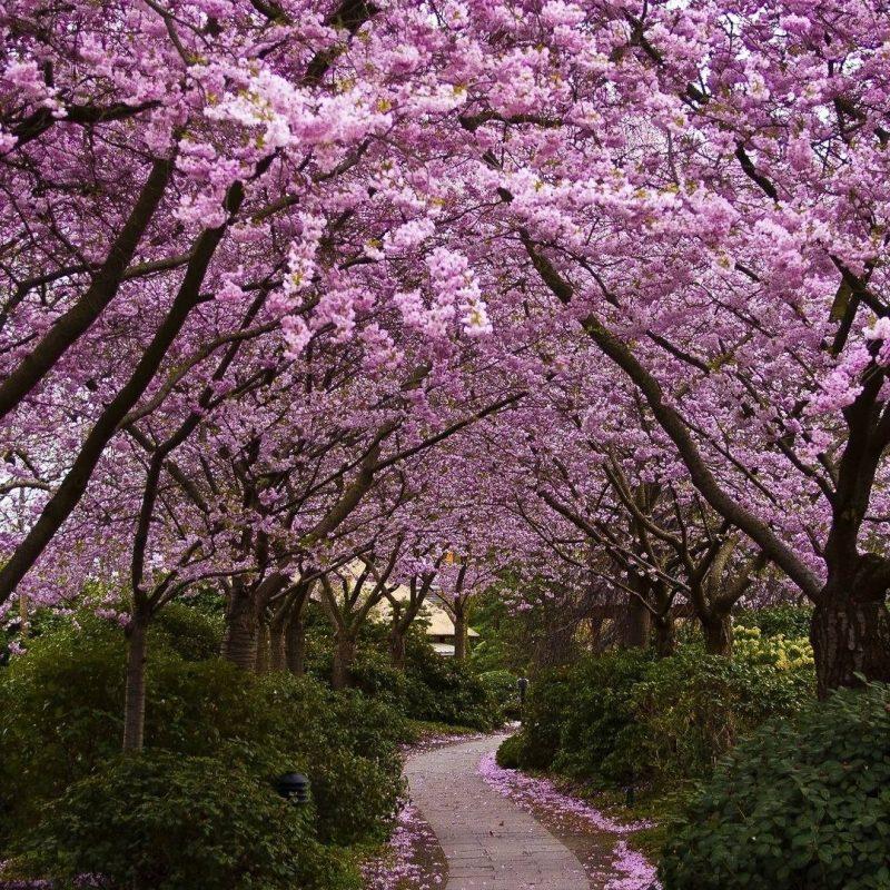 10 Best Cherry Blossom Desktop Backgrounds FULL HD 1920×1080 For PC Desktop 2018 free download cherry blossom desktop backgrounds wallpaper cave 7 800x800