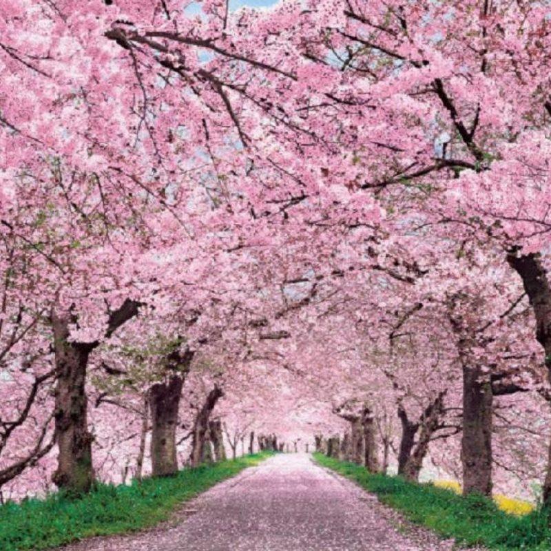 10 Best Cherry Blossom Desktop Backgrounds FULL HD 1920×1080 For PC Desktop 2018 free download cherry blossom desktop wallpaper c2b7e291a0 3 800x800