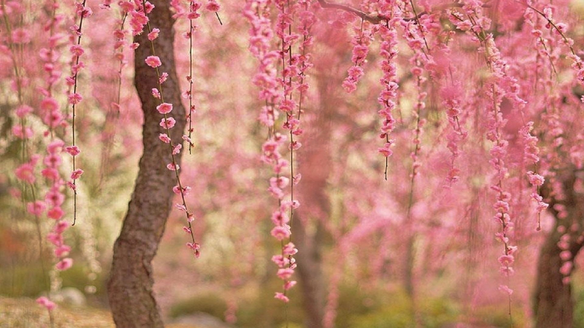 cherry blossom desktop wallpaper ·①