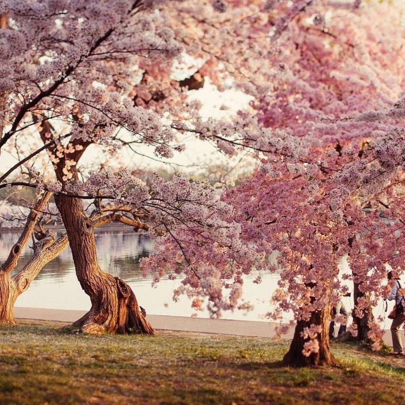 10 Best Cherry Blossom Desktop Backgrounds FULL HD 1920×1080 For PC Desktop 2018 free download cherry blossom desktop wallpapers wallpaper computer wallpaper 1 800x800