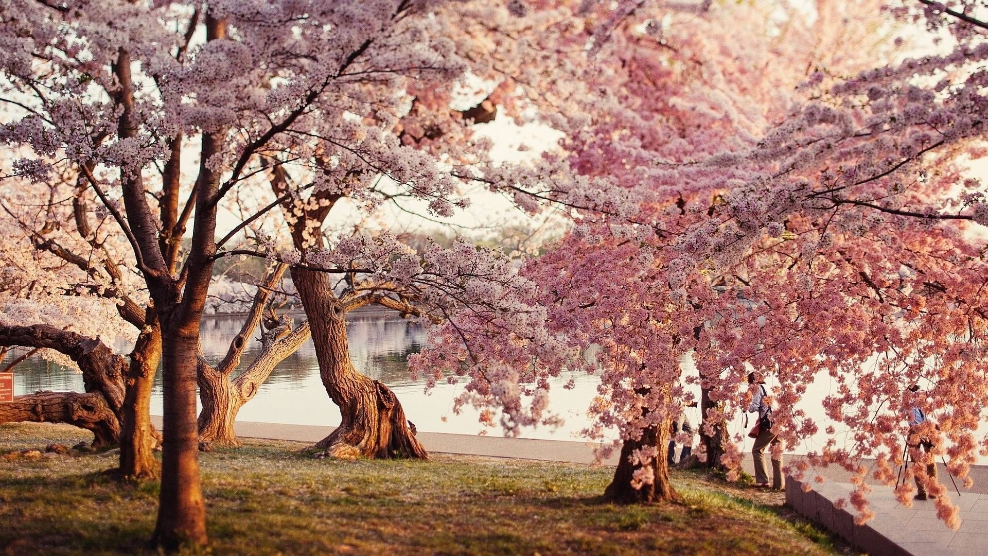 cherry blossom desktop wallpapers wallpaper | computer wallpaper