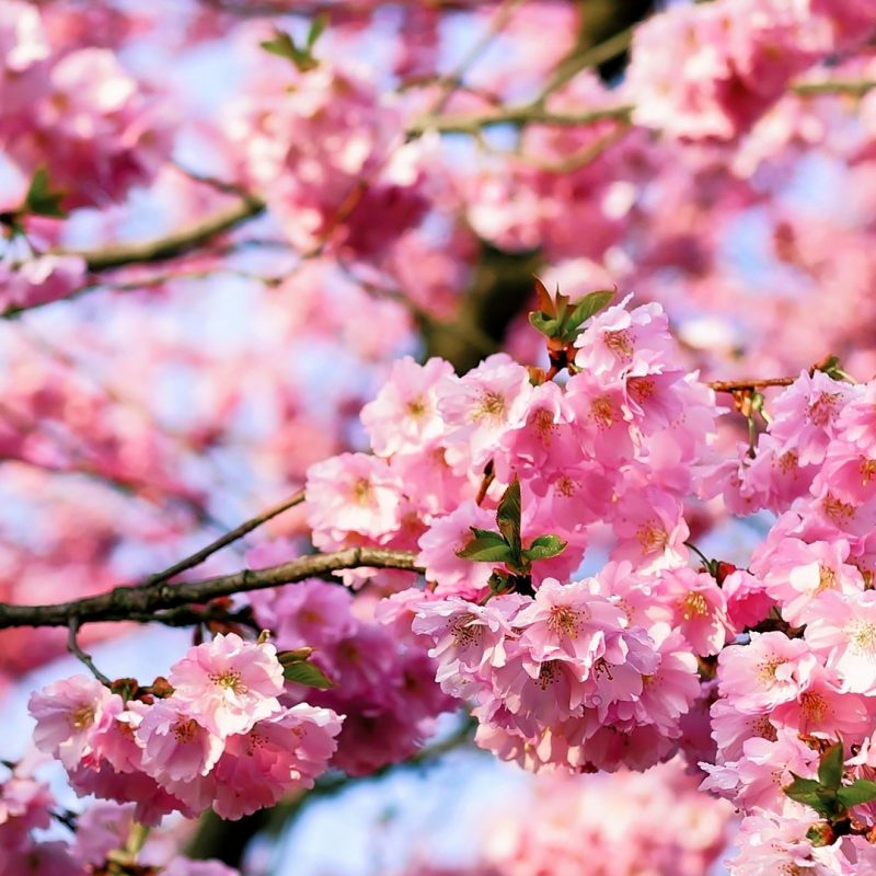 10 Top Cherry Blossoms Iphone Wallpaper FULL HD 1080p For PC Background 2018 free download cherry blossom iphone hd wallpaper pixelstalk 800x800
