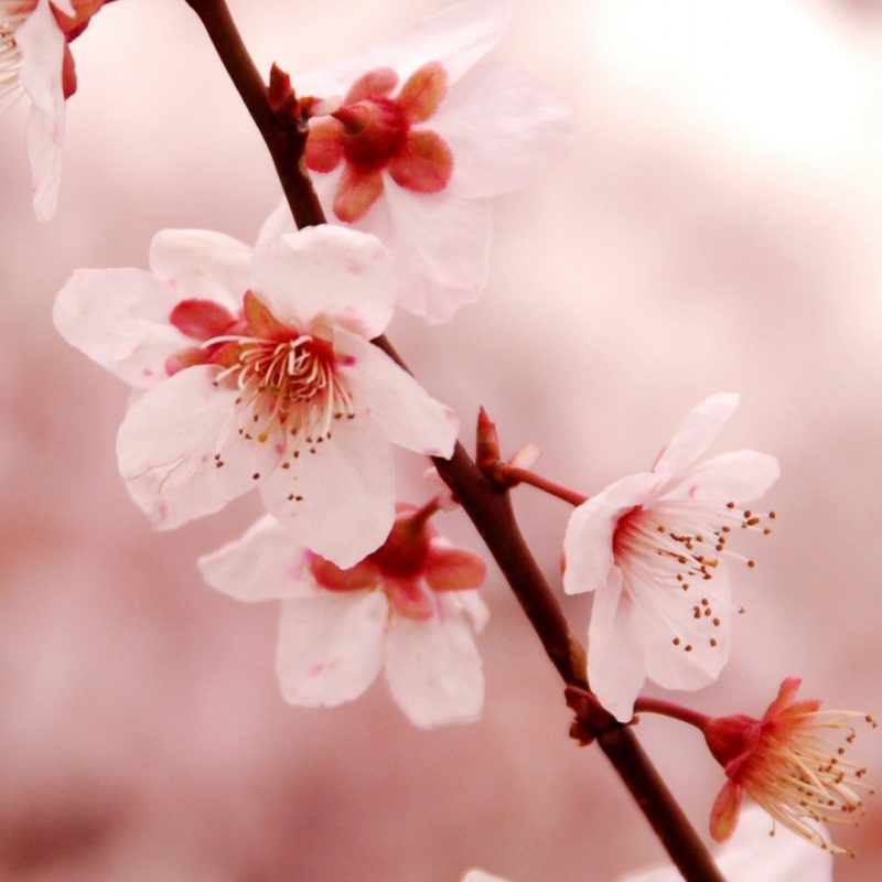 10 Top Cherry Blossoms Iphone Wallpaper FULL HD 1080p For PC Background 2021 free download cherry blossom iphone wallpaper download free media file 800x800