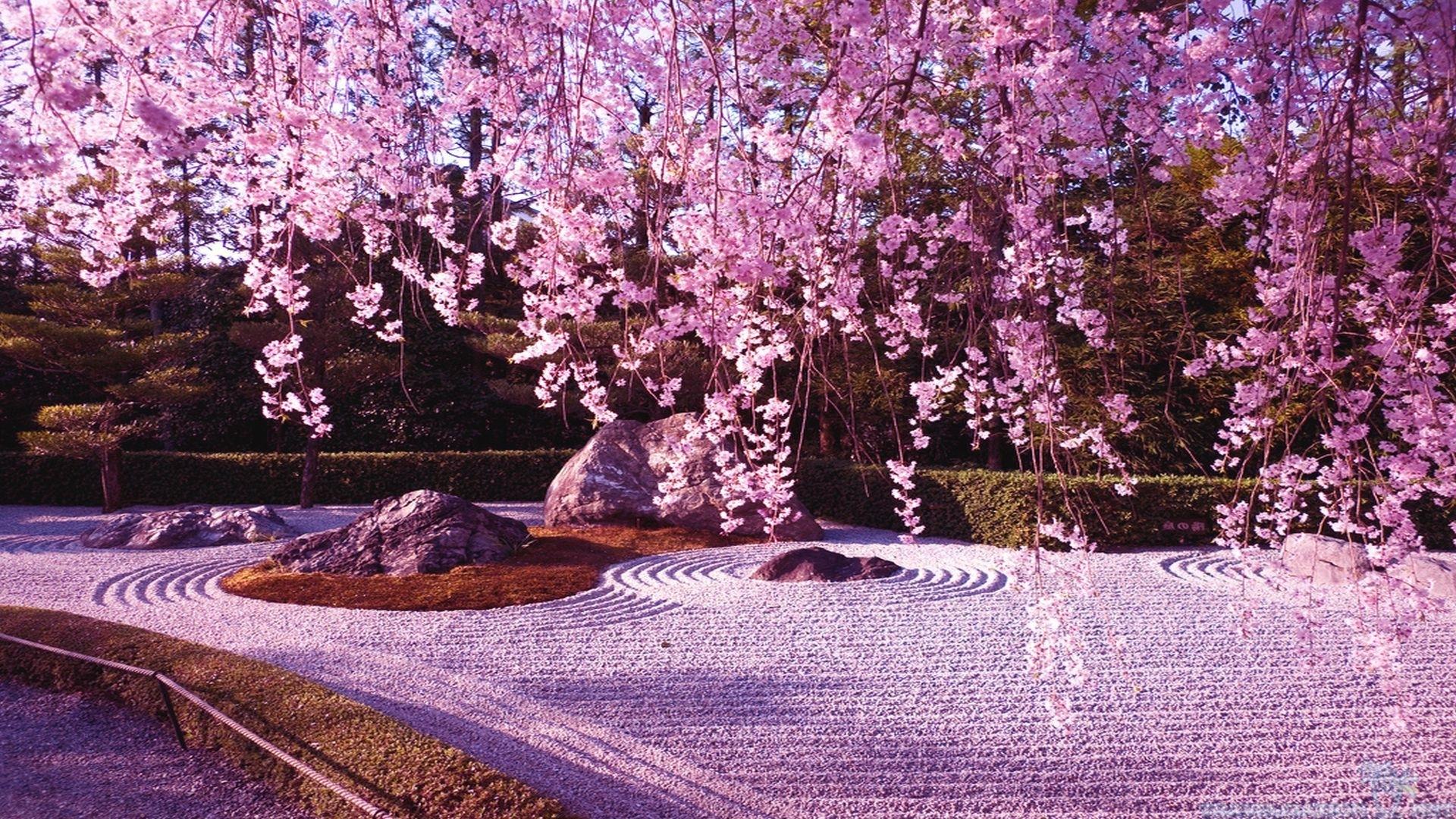 cherry blossom sakura tree free blossoms cat pink nature hd