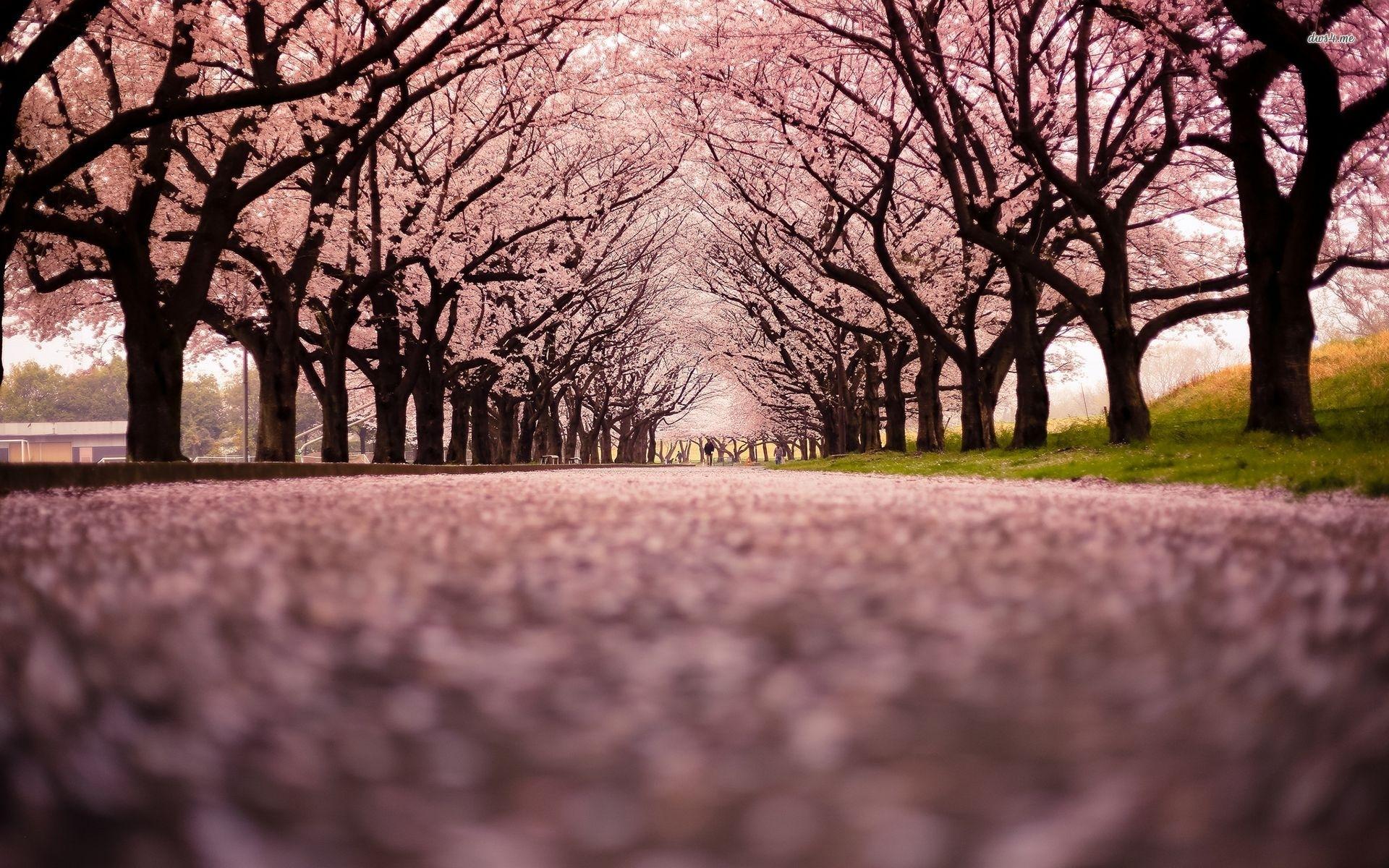 cherry blossom tree 16 hd wallpaper | modern asian artisan