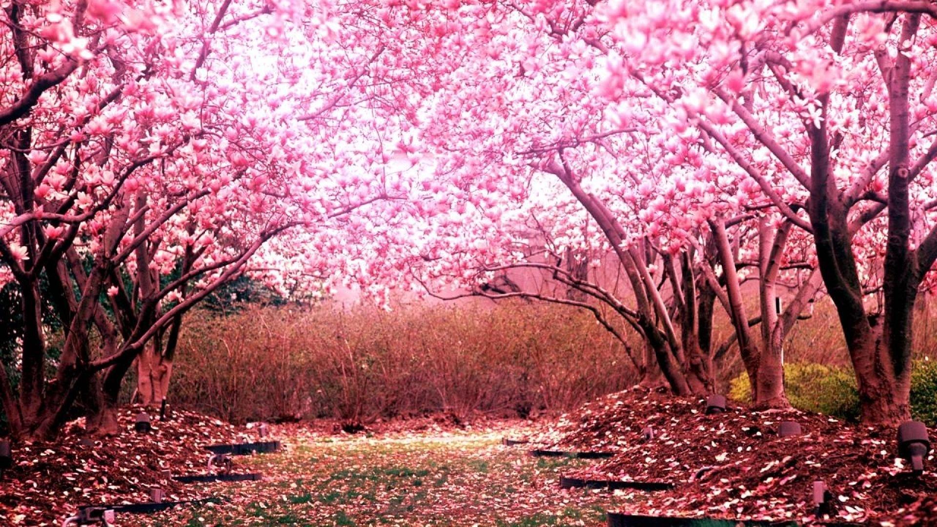 cherry blossom tree for your garden | cherry tree | pinterest