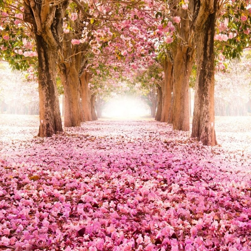 10 Most Popular Cherry Blossom Wallpapers Hd FULL HD 1080p For PC Desktop 2018 free download cherry blossoms wallpaper 9 800x800