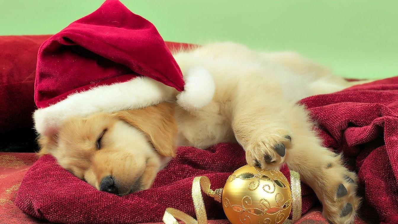 christmas cute puppy golden retriever wallpaper