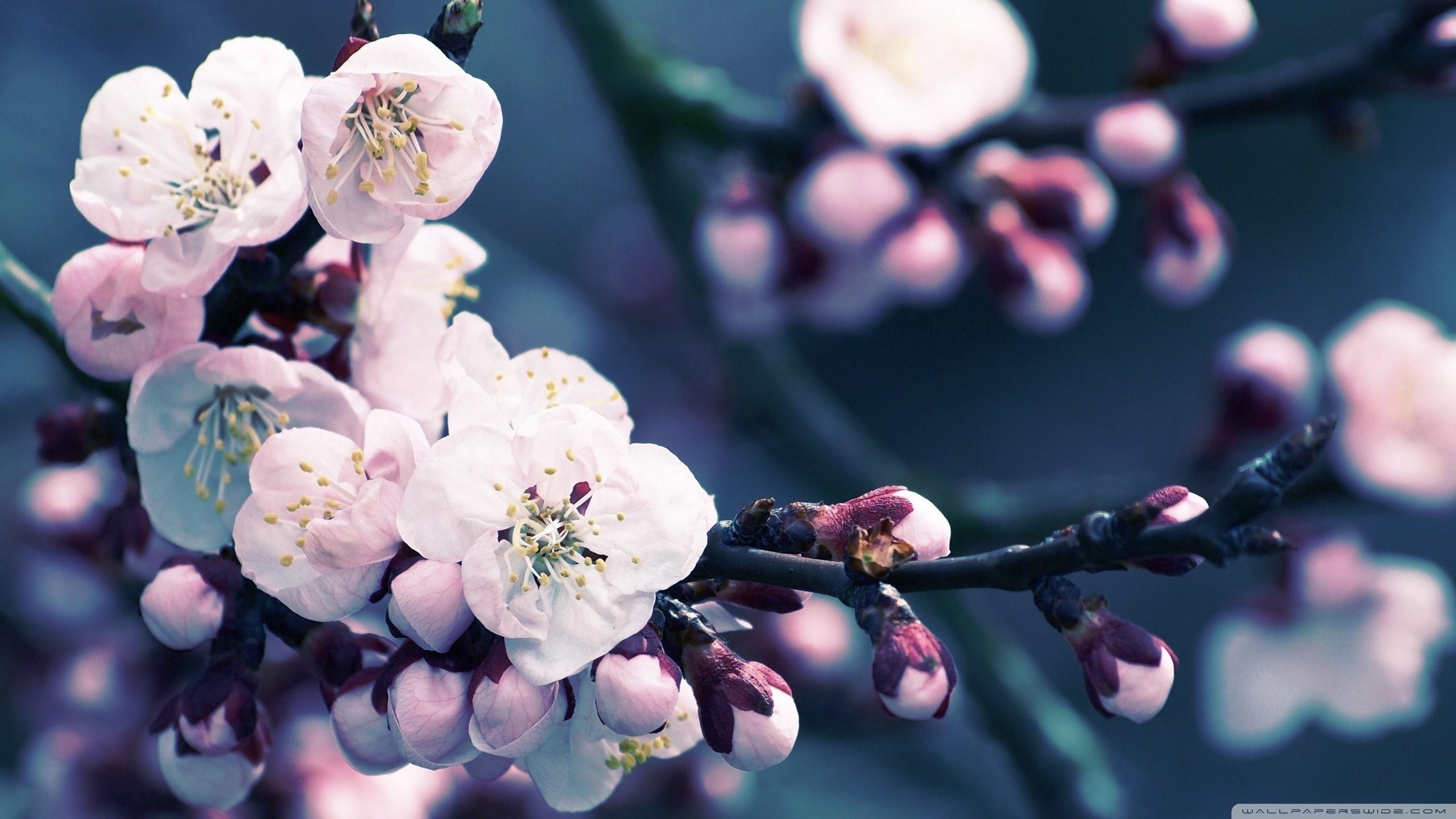 close up of cherry blossom ❤ 4k hd desktop wallpaper for 4k ultra