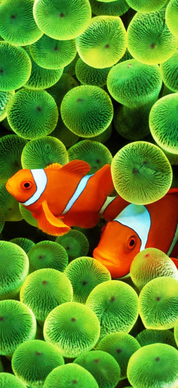 10 New Iphone Fish Wallpaper FULL HD 1920×1080 For PC Background 2021 free download clown fish wallpaper redux iphone x resolution album on imgur 369x800