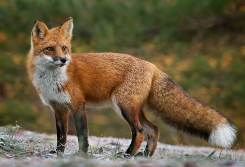 10 New Images Of Foxes FULL HD 1080p For PC Background 2018 free download colin j carlson on twitter in the face of insomnia i will attempt 800x546