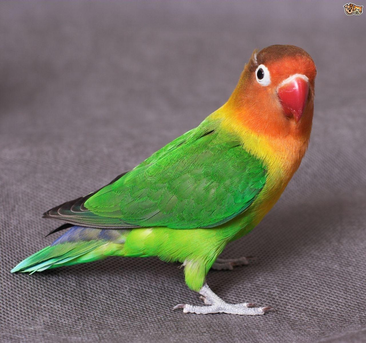 common lovebird illnesses | pets4homes