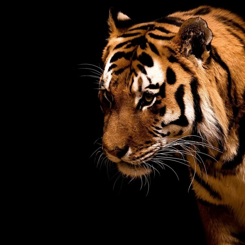 10 Latest Cool Pics Of Tigers FULL HD 1080p For PC Desktop 2020 free download cool tiger photos wallpaper 800x800