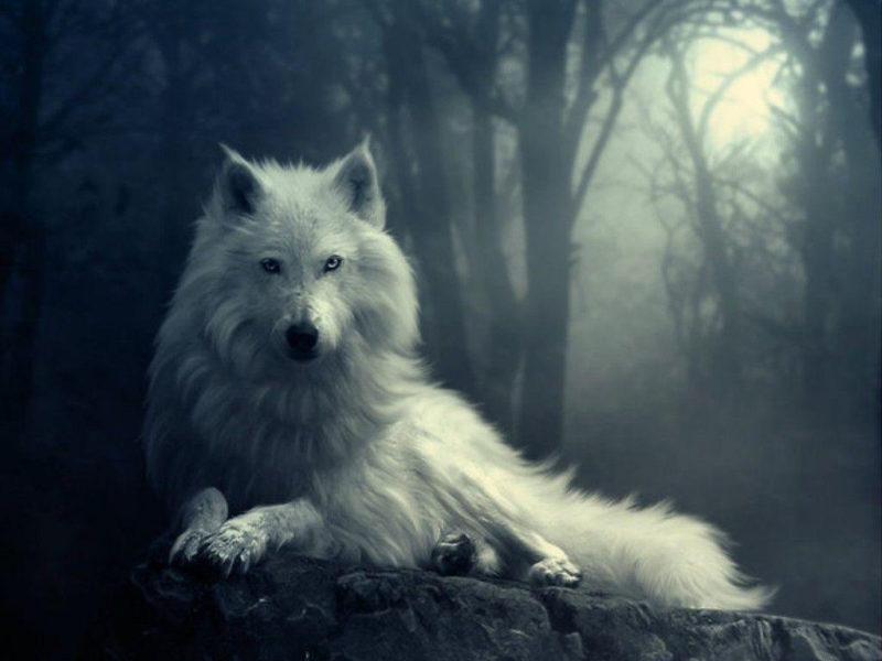 10 Top Cool Wallpapers Of Wolves FULL HD 1920×1080 For PC Desktop 2021 free download cool wolf backgrounds wallpaper cave 3 800x600