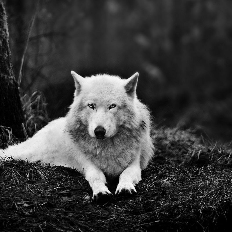 10 New Cool Wolf Desktop Backgrounds FULL HD 1080p For PC Background 2020 free download cool wolf wallpaper 1920x1200 cool wolf backgrounds 47 wallpapers 800x800