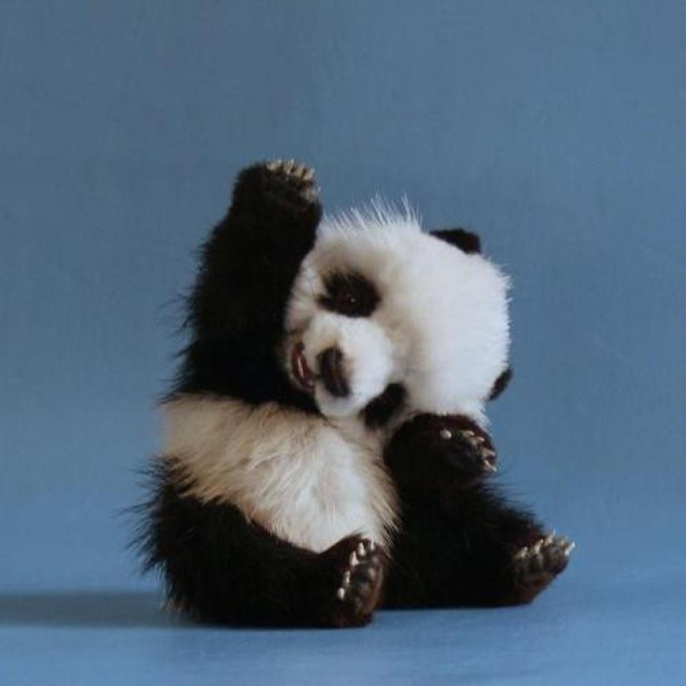 10 Best Cute Baby Panda Images FULL HD 1920×1080 For PC Background 2018 free download cute animals baby panda cute animals pinterest panda