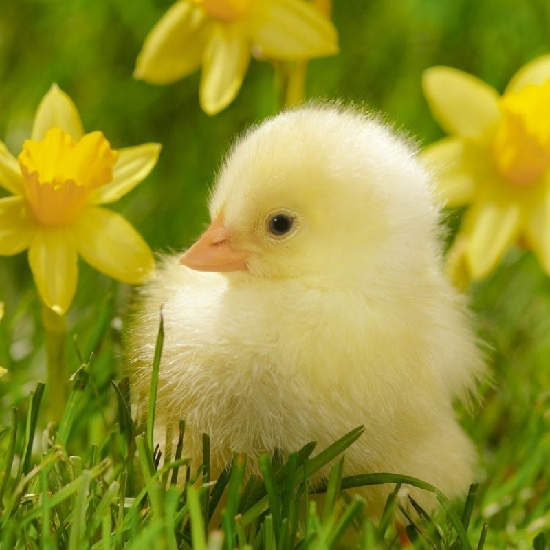 10 New Baby Animals Wallpaper Hd FULL HD 1920×1080 For PC Desktop 2018 free download cute baby animal wallpapers wallpaper cave android pinterest 800x800