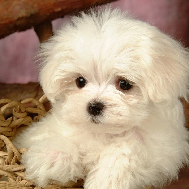 10 New Cute Baby Dogs Wallpaper FULL HD 1920×1080 For PC Desktop 2018 free download cute baby dogs wallpaper download 800x800