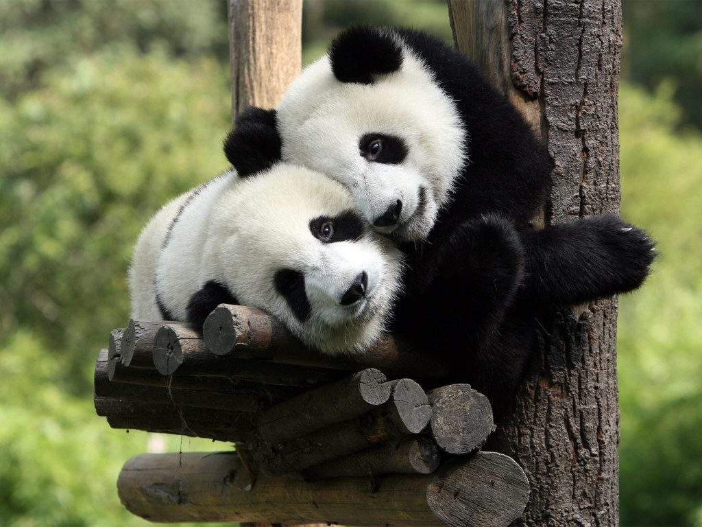 10 Best Cute Baby Panda Images FULL HD 1920×1080 For PC Background 2018 free download cute baby panda 2239 1024x768 px hdwallsource 1024x768
