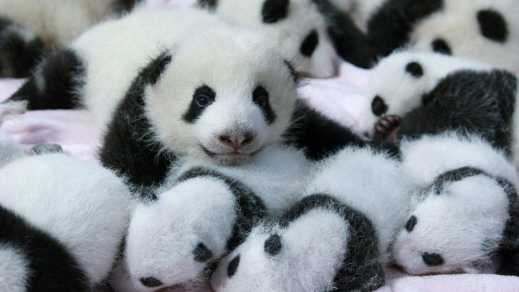 10 Best Cute Baby Panda Images FULL HD 1920×1080 For PC Background 2018 free download cute baby panda wallpaper 2018 cute screensavers 1024x576