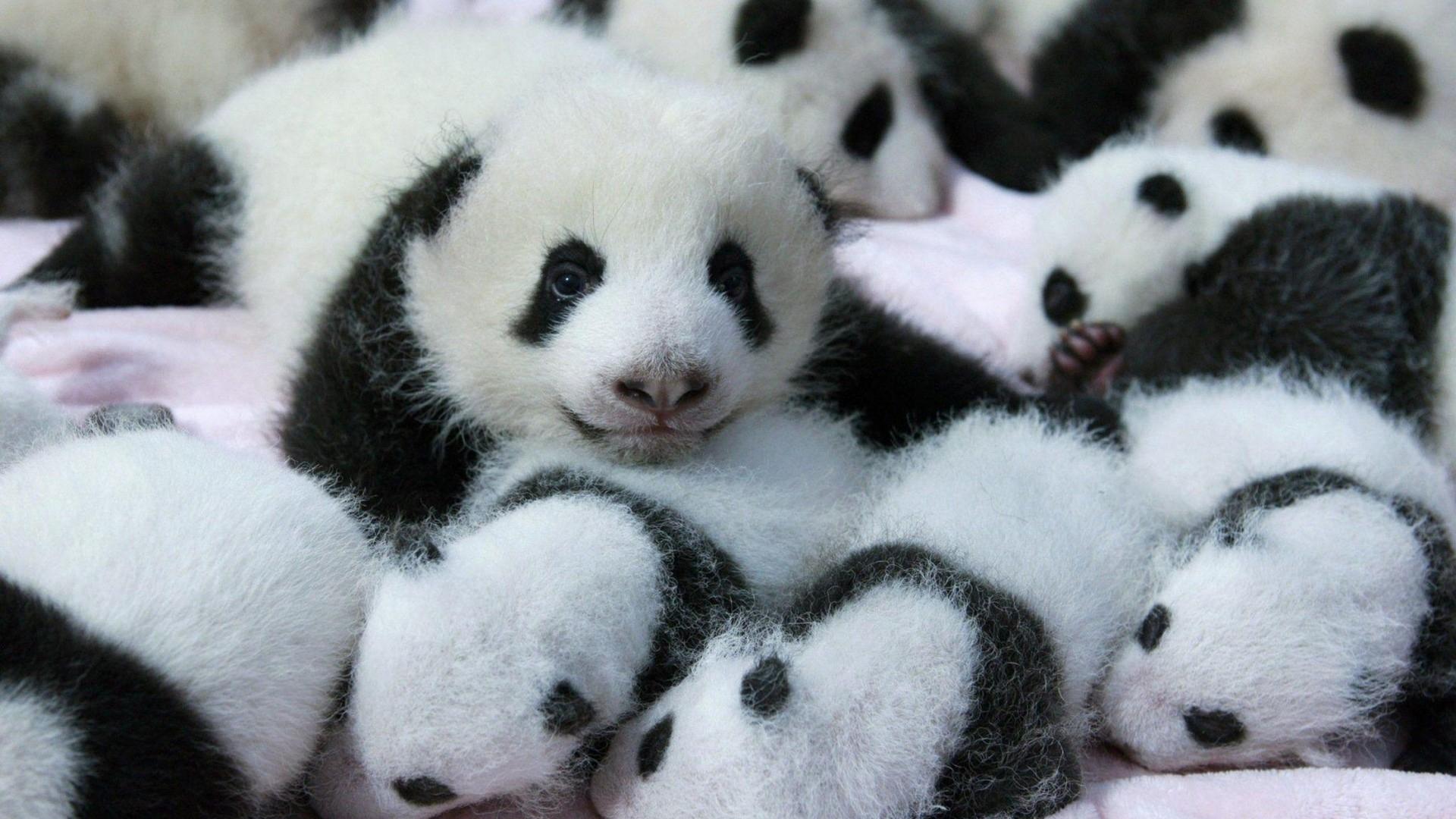 cute baby panda wallpaper - 2018 cute screensavers